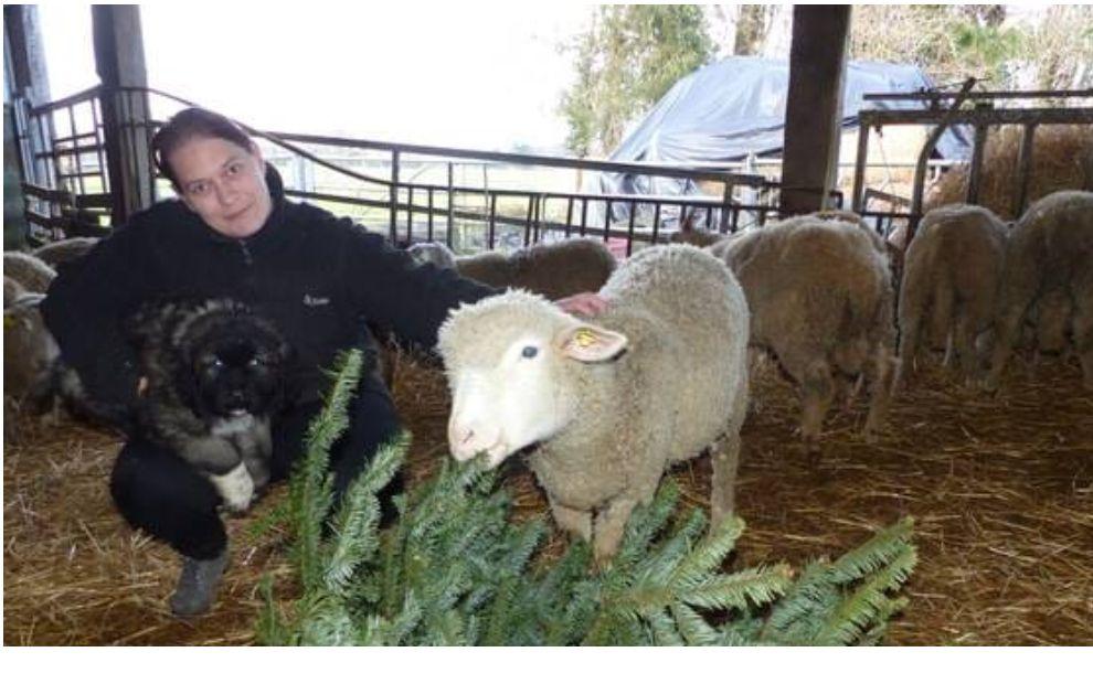 Ne jetez pas vos sapins de Noël ! Les brebis de Tatiana se régalent avec les épines