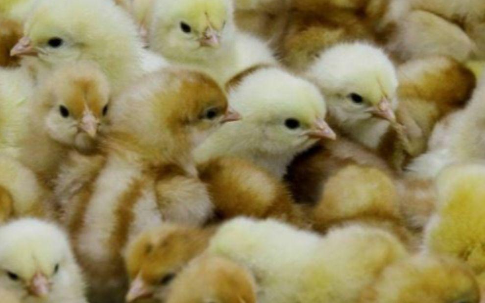 Julien Denormandie promet la « fin du broyage des poussins » mâles en France en 2022
